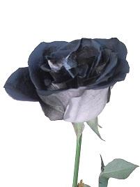 Rosa negra a domicilio