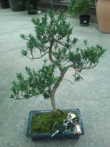 comprar bonsai