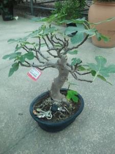 Enviar bonsais