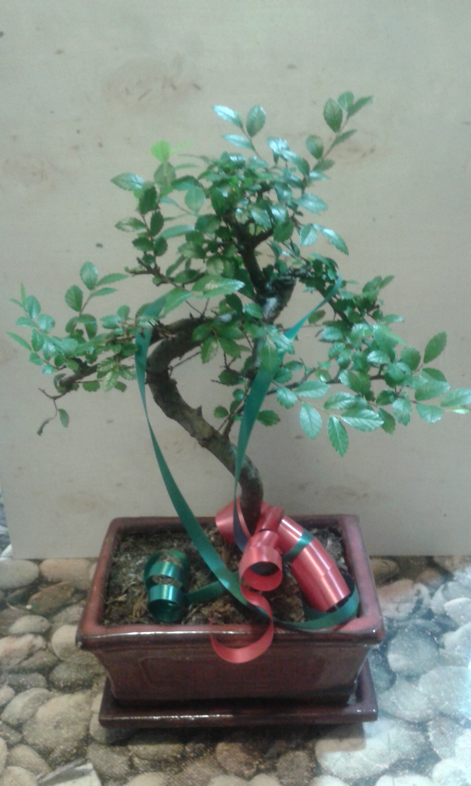 Envio de bonsai a domicilio